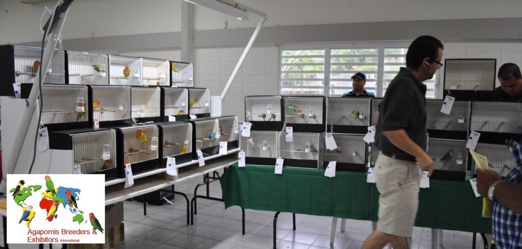 ABE Show Trujillo ALto, Puerto Rico - A very large fischeri section, Arnaldo Repollet accommodates the birds for the judge. Courtesy Gerardo Toledo