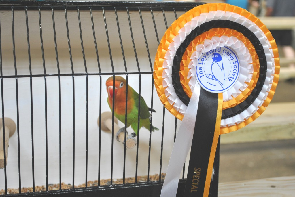 Stafford Nest Feather Show - 7/7/2013 FIscheri owned by Neil Pegrum - Courtesy Allen King