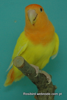 Lutino Orangefaced Opaline Roseicollis - Courtesy Luis Grencho, Copyright