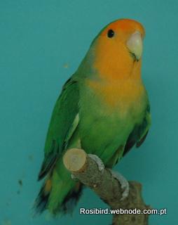 Green Orangefaced Roseicollis - Courtesy Luis Grencho, Copyright