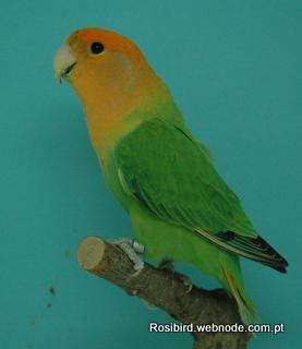 Green Orangefaced Opaline Roseicollis - Courtesy Luis Grencho, Copyright
