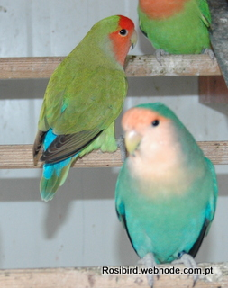 Aqua (in the front), Green Standard Roseicollis - Couryesy Luis Grencho, Copyright