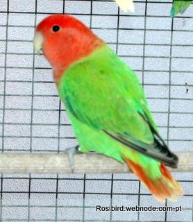 Green Opaline Standard Roseicollis - Courtesy Luis Grencho, Copyright