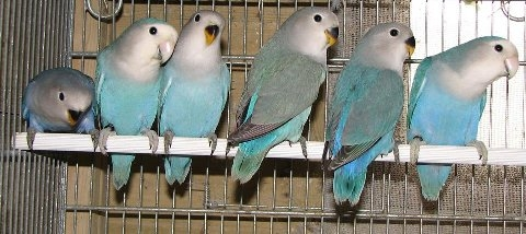 Family of Whitefaced Aqua - Courtesy Mr. Fabio Baesi