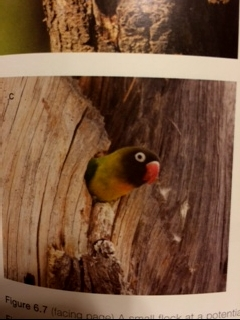 AGAPORNIS NIgrigenis in a nest in the wild - from the book Parrots of Africa, Madagascar and the Mascarene Islands (biology, ecology and conservation) by Dr. Mike Perrin