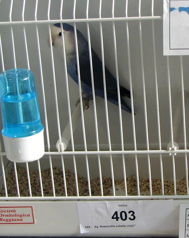 Psittacus Forli Show 2014 - bird owned by Fabio Baesi, photo courtesy Fabio Baesi. Roseicollis - Whitefaced Medium Violet