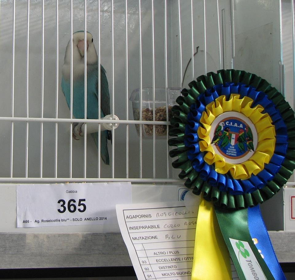 Psittacus Forli Show 2014 - bird owned by Fabio Baesi, photo courtesy Fabio Baesi. Roseicollis - Whitefaced Aqua (blue) -unflighted 2014