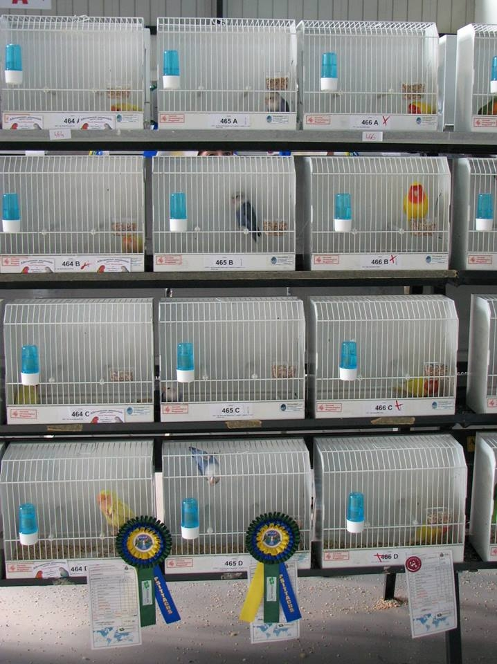 Psittacus Forli Show 2014 - birds owned by Fabio Baesi, photo courtesy Fabio Baesi.