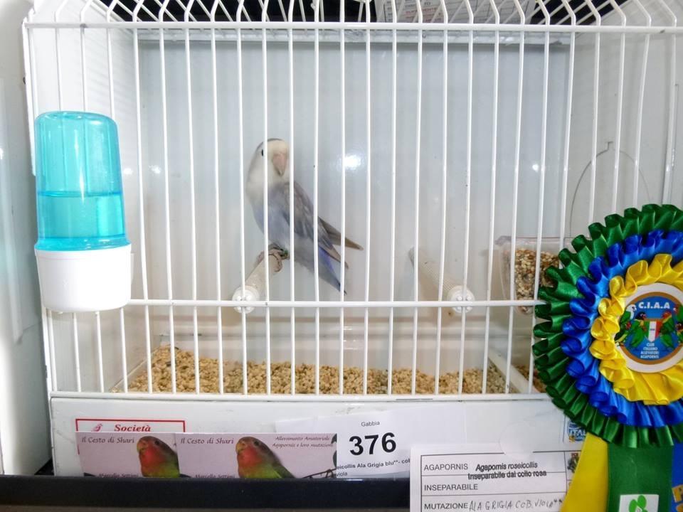 Psittacus Forli Show 2014 - bird owned by Il Cesto Di Shari, photo courtesy Il Cesto Di Shari. Roseicollis - Edged (Greywing) Medium Violet