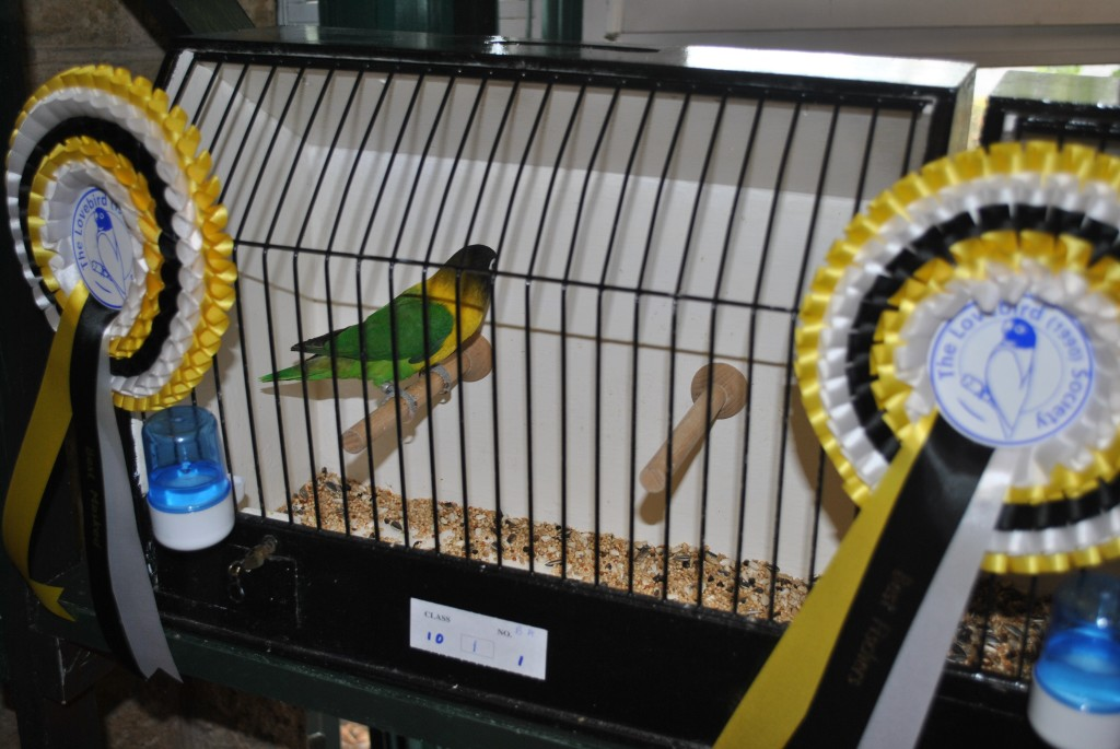 Green Personatus - The Lovebird Society UK - Bird owned by Neil Pegrum, photo courtesy Allen King