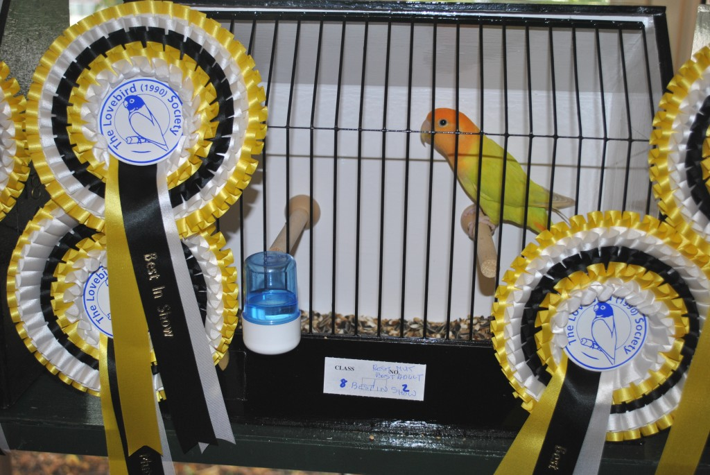 Best in Show - Opaline Orangefaced Roseicollis - The Lovebird Society UK - Bird owned by Andy Morton, photo courtesy Allen King