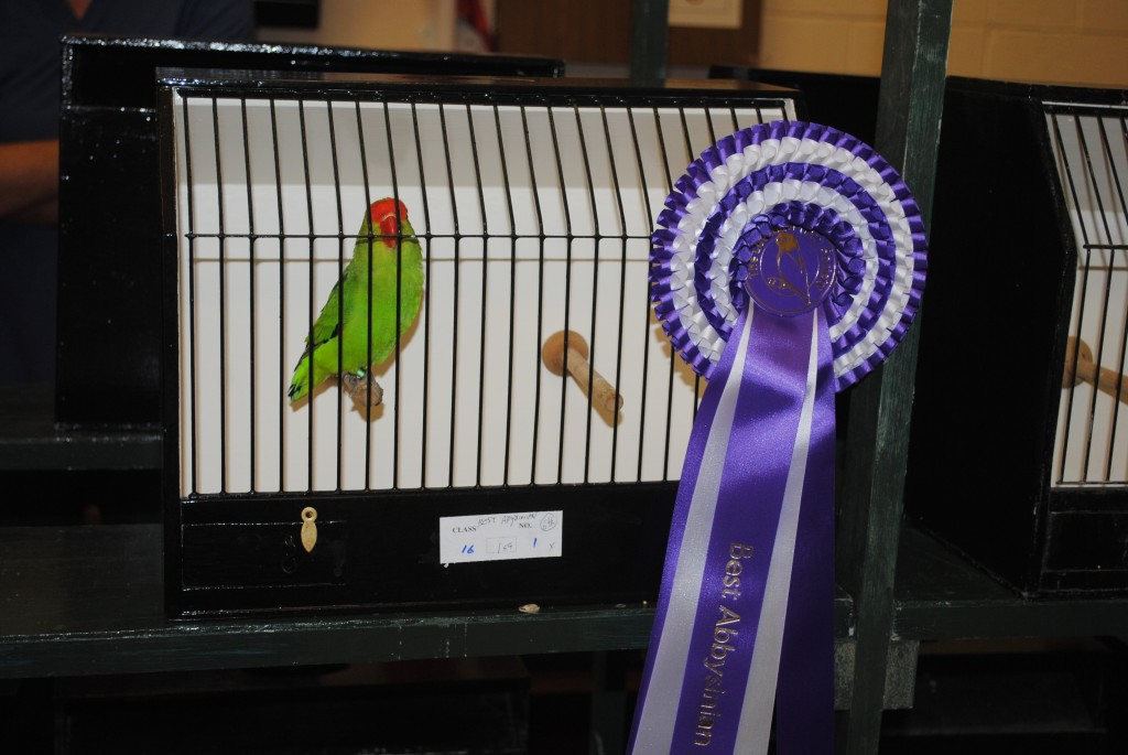 Best Abyssinian - Stevie Stewart Courtesy Allen King